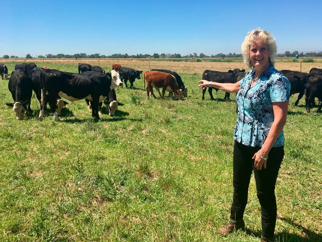 In this July 11, 2018 photo, animal geneticist Alison Van Eenennaam of the University of California, Davis, points to a group of dairy calves that won't have to be dehorned thanks to gene editing. The calves are descended from a bull genetically altered to be hornless, and the company behind the work, Recombinetics, says gene-edited traits could ease animal suffering and improve productivity.