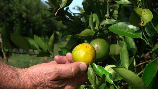 "Fred Gmitter, a geneticist at the University of Florida Citrus Research and Education Center, holds an orange affected by citrus greening disease at a grove in Fort Meade, Fla., on Sept. 27, 2018. ""If we can go in and edit the gene, change the DNA sequence ever so slightly by one or two letters, potentially we'd have a way to defeat this disease,"" says Gmitter."