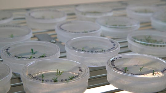 This Sept. 27, 2018 photo shows petri dishes with citrus seedlings that are used for gene editing research at the University of Florida in Lake Alfred, Fla. Gene-editing tools, with names like CRISPR and TALEN, promise to alter foods precisely, and cheaply _ without necessarily adding foreign DNA. Instead, they act like molecular scissors to alter the letters of an organism's own genetic alphabet.