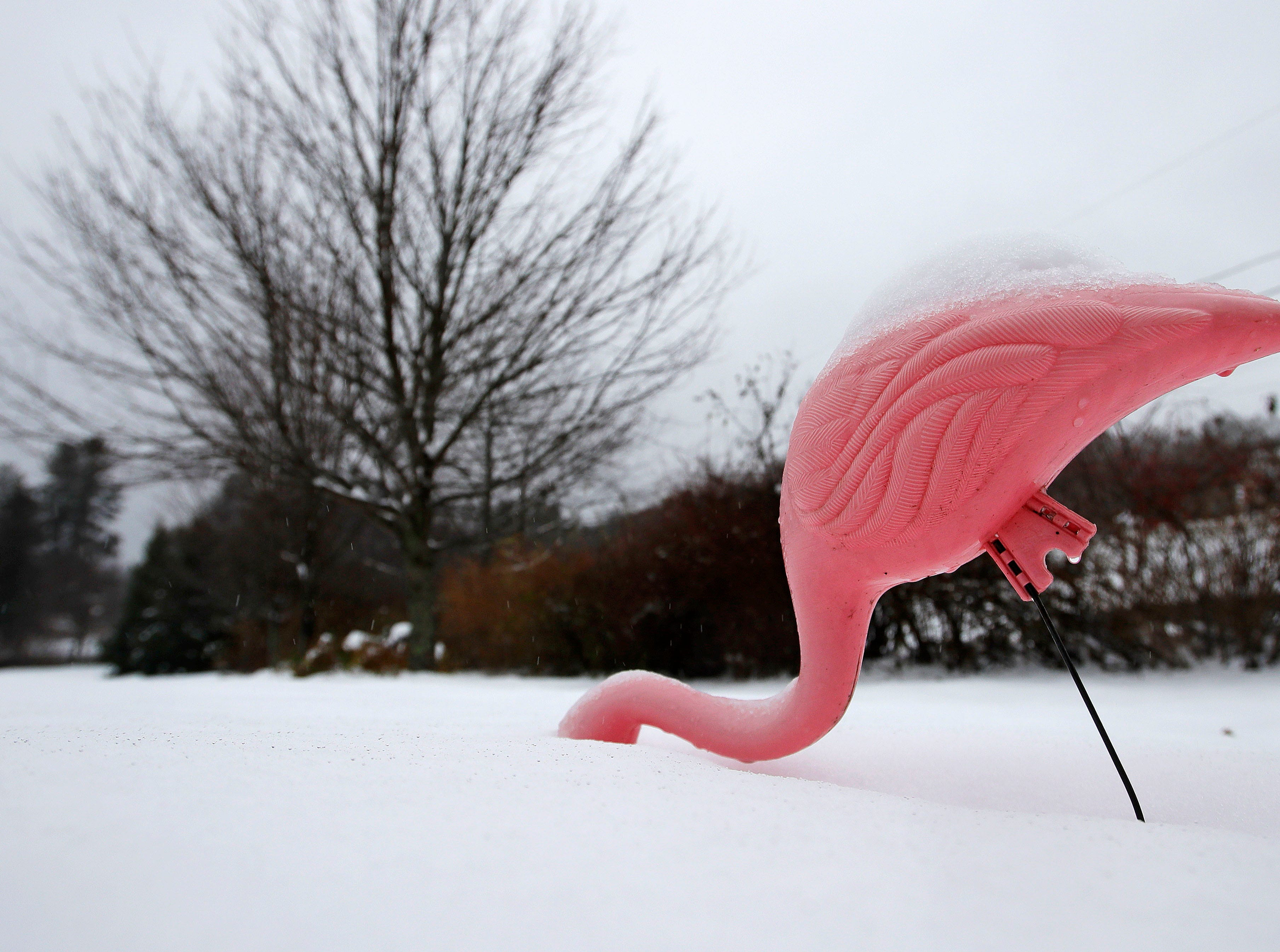 A flamingo lawn ornament is covered with slushy snow after an overnight storm in East Derry, N.H., Friday, Nov. 16, 2018. Southern New Hampshire received about five inches of snow before turning to rain later in the day.