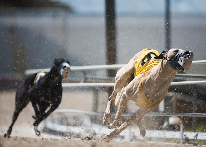 Floridians recently voted to ban greyhound racing by the end of 2020, leaving many dogs in need of homes.