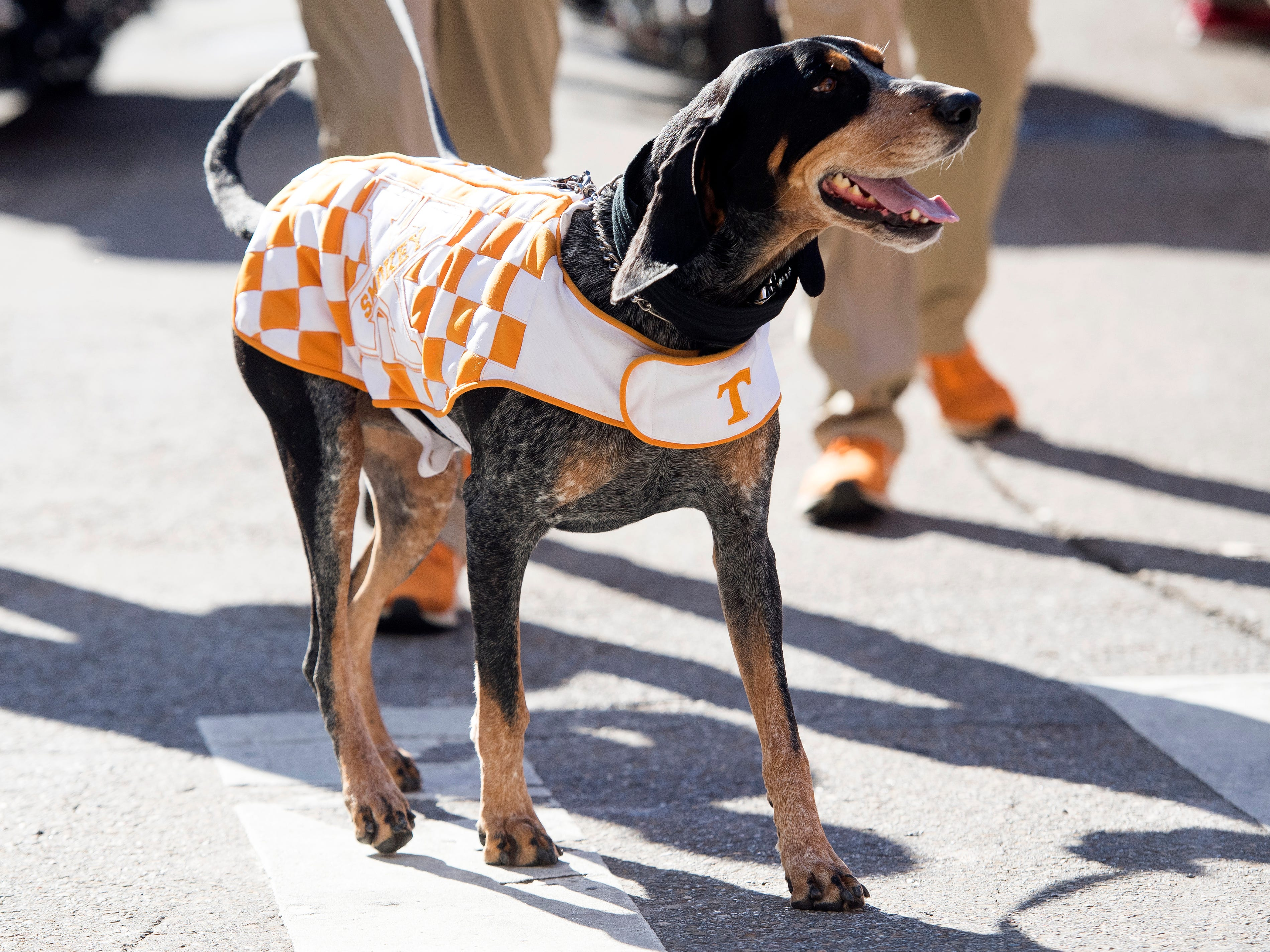Smokey takes part in the Vol Walk before the Tennessee Volunteers take on the Missouri Tigers in Neyland Stadium on Saturday, November 17, 2018.