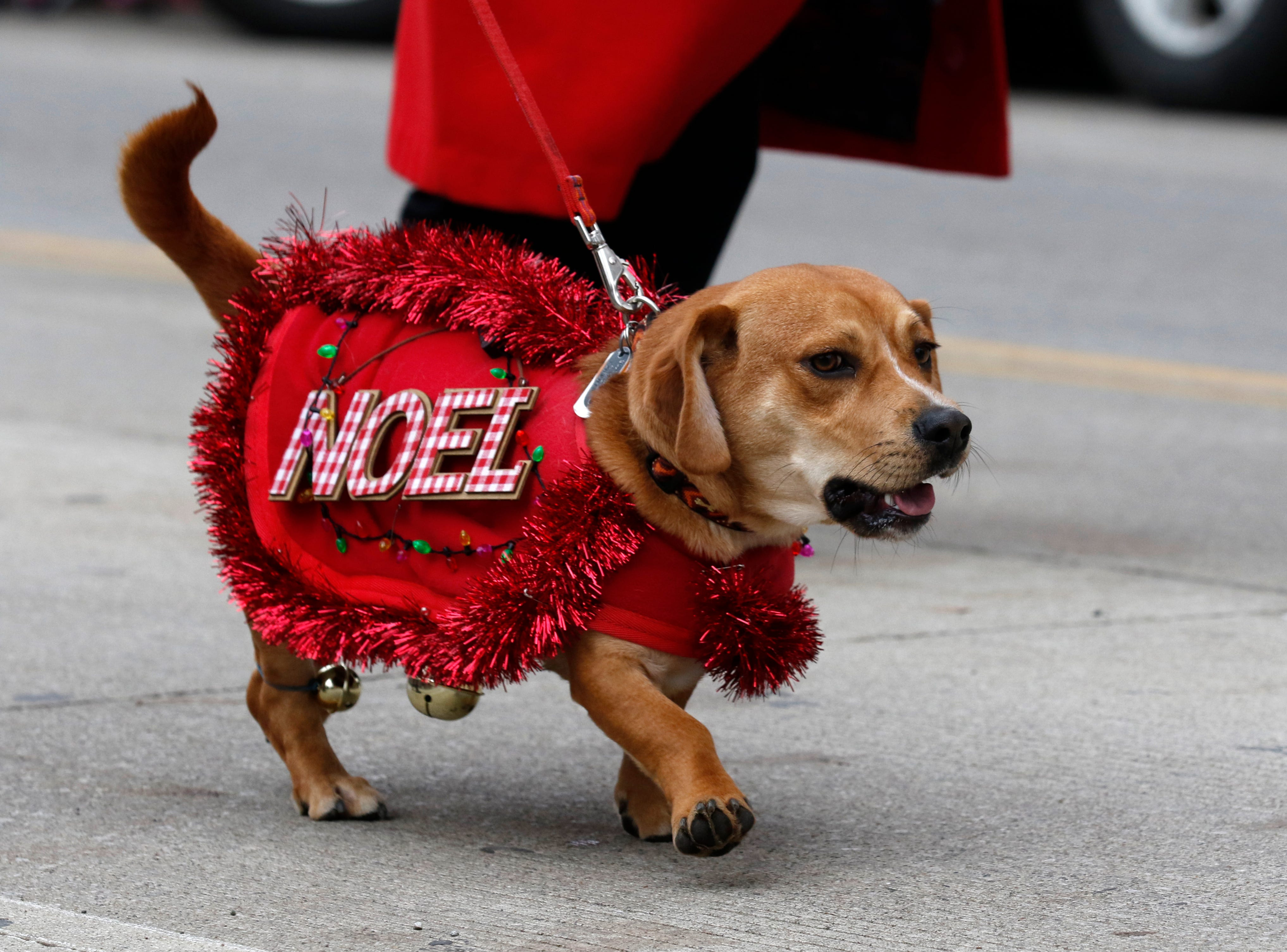 A costumed dog walks in the Lancaster Holiday Festival Parade Saturday, Nov. 17, 2018, in downtown Lancaster.