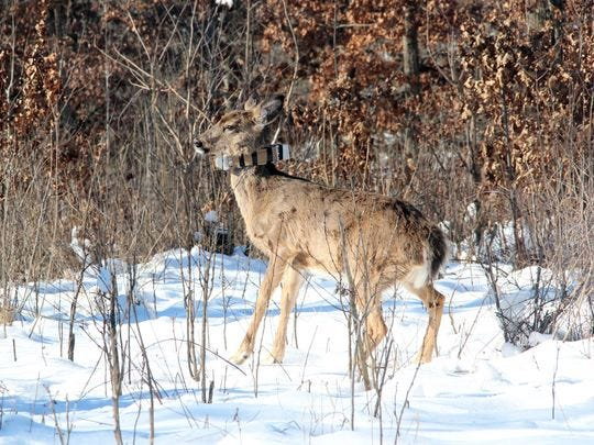 A juvenile white-tailed deer in Iowa County wears a GPS collar as part of the Southwest Wisconsin CWD, Deer and Predator Study.