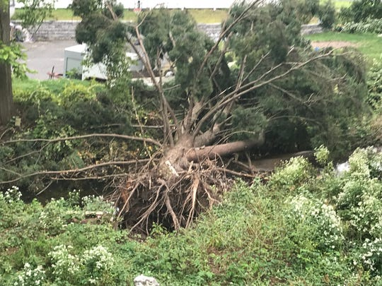 A tree that stood on the property of New Milford resident David Timmerman fell over after a rain storm in September, which he blamed on soil erosion caused by a flood mitigation project.