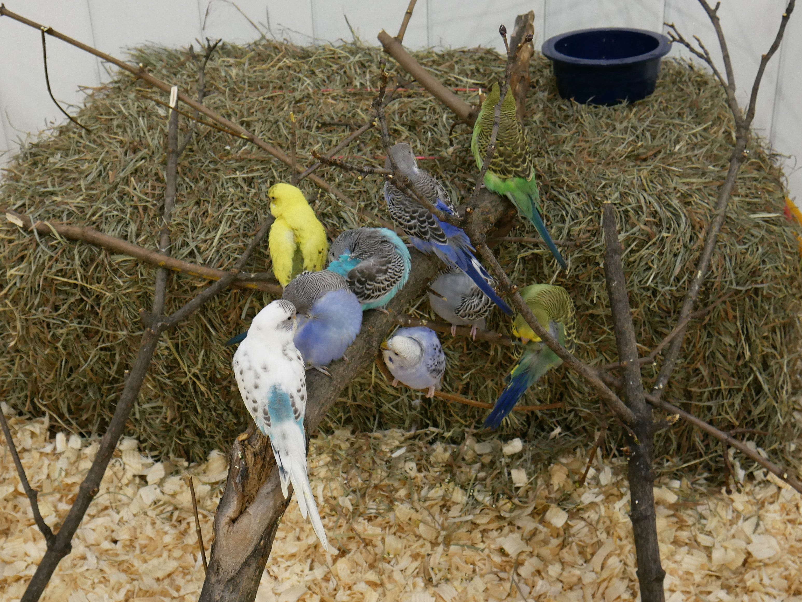 Some parakeets at the Natural History Exhibition on Nov. 17, 2018, at the Mid-Hudson Civic Center in Poughkeepsie. Little Ray's Nature Centers and ZooAmerica coordinated with the Foundation for Animal Rescue and Education for the weekend-long exhibit, which also features a sloth, porcupine, an armadillo, rabbits, tarantulas and more.