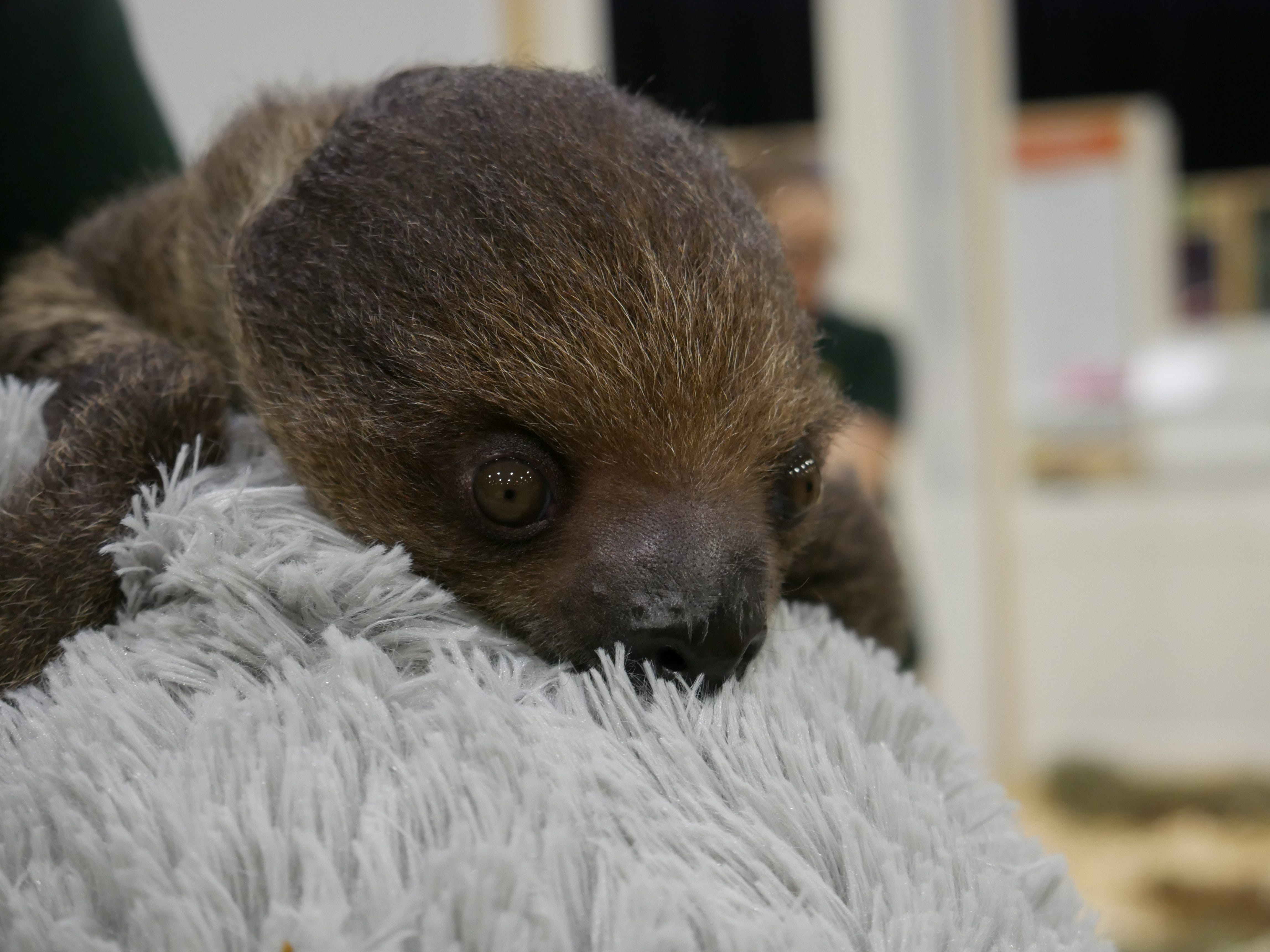 Flash, a two-toed sloth, cuddles a stuffed sloth at the Natural History Exhibition on Nov. 17, 2018, at the Mid-Hudson Civic Center in Poughkeepsie. Little Ray's Nature Centers and ZooAmerica coordinated with the Foundation for Animal Rescue and Education for the weekend-long exhibit, which also features a porcupine, an armadillo, rabbits, snakes, tarantulas and more.
