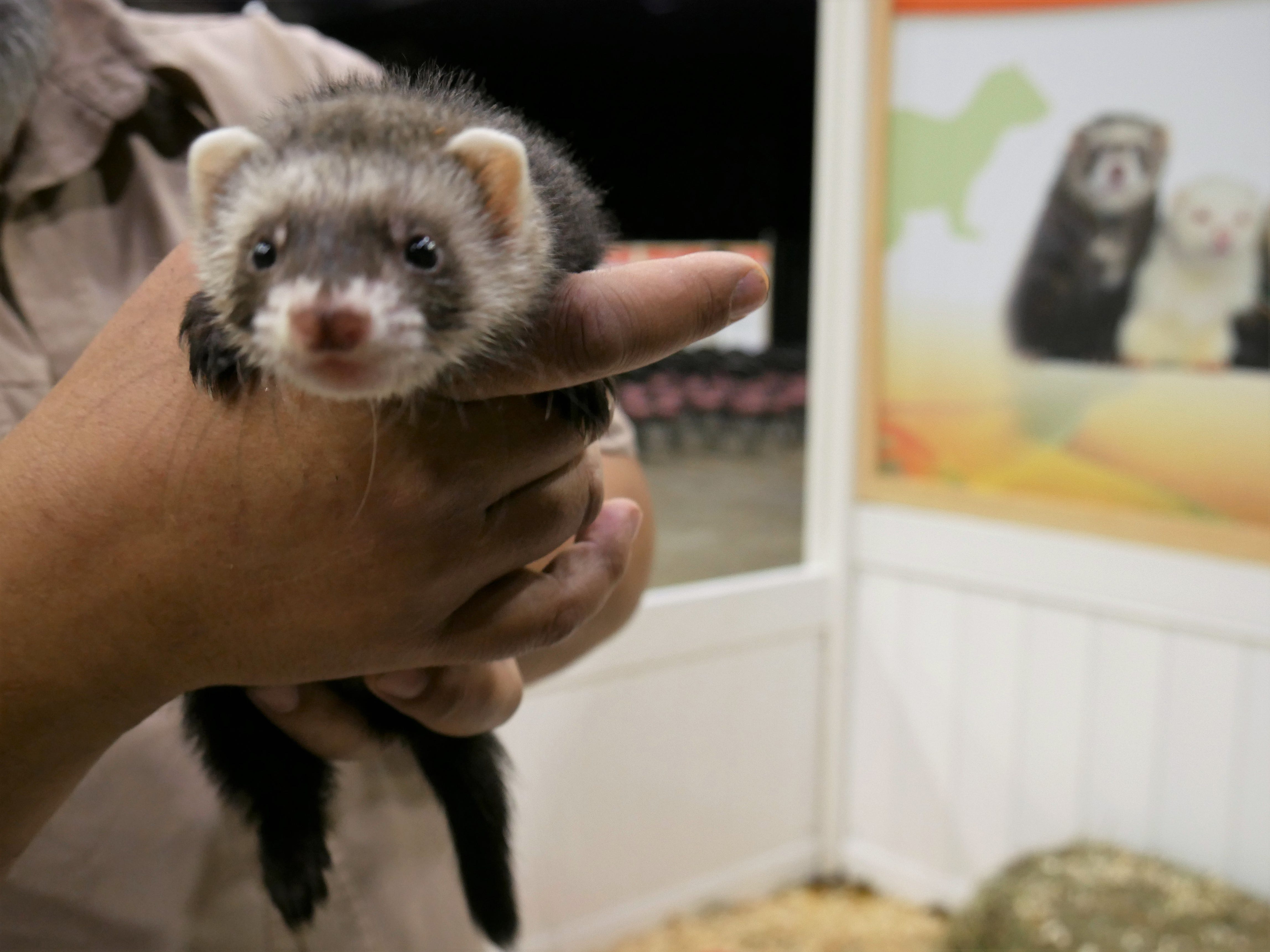 A ferret at the Natural History Exhibition on Nov. 17, 2018, at the Mid-Hudson Civic Center in Poughkeepsie. Little Ray's Nature Centers and ZooAmerica coordinated with the Foundation for Animal Rescue and Education for the weekend-long exhibit, which also features a sloth, a porcupine, an armadillo, rabbits, snakes, tarantulas and more.