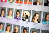 Murray, one of Northern York School District's seven service dogs, helps out students and teachers alike.