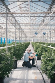 A Canopy Growth worker tends to cannabis plants at a company facility. Constellation Brands now has a 38 percent stake in the Canadian cannabis grower.