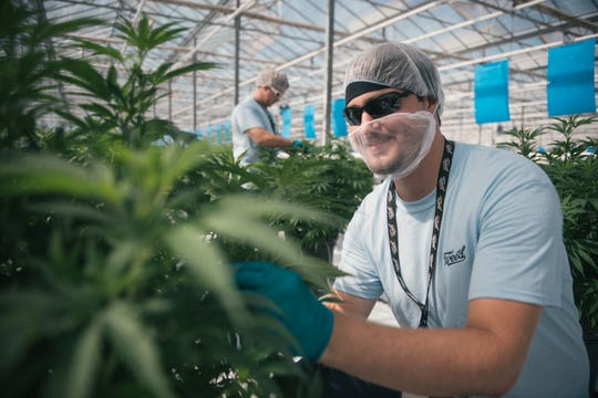 Employees tend to cannabis plants inside a Canopy Growth facility. Constellation Brands now has a 38 percent stake in the Canadian producer.