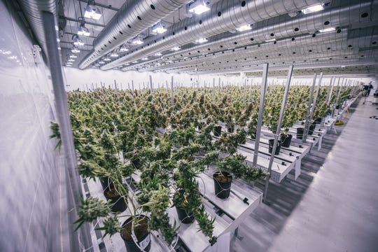 Cannabis plants in a Canopy Growth facility. Constellation Brands in Victor now has a 38 percent stake in the Canadian cannabis grower.