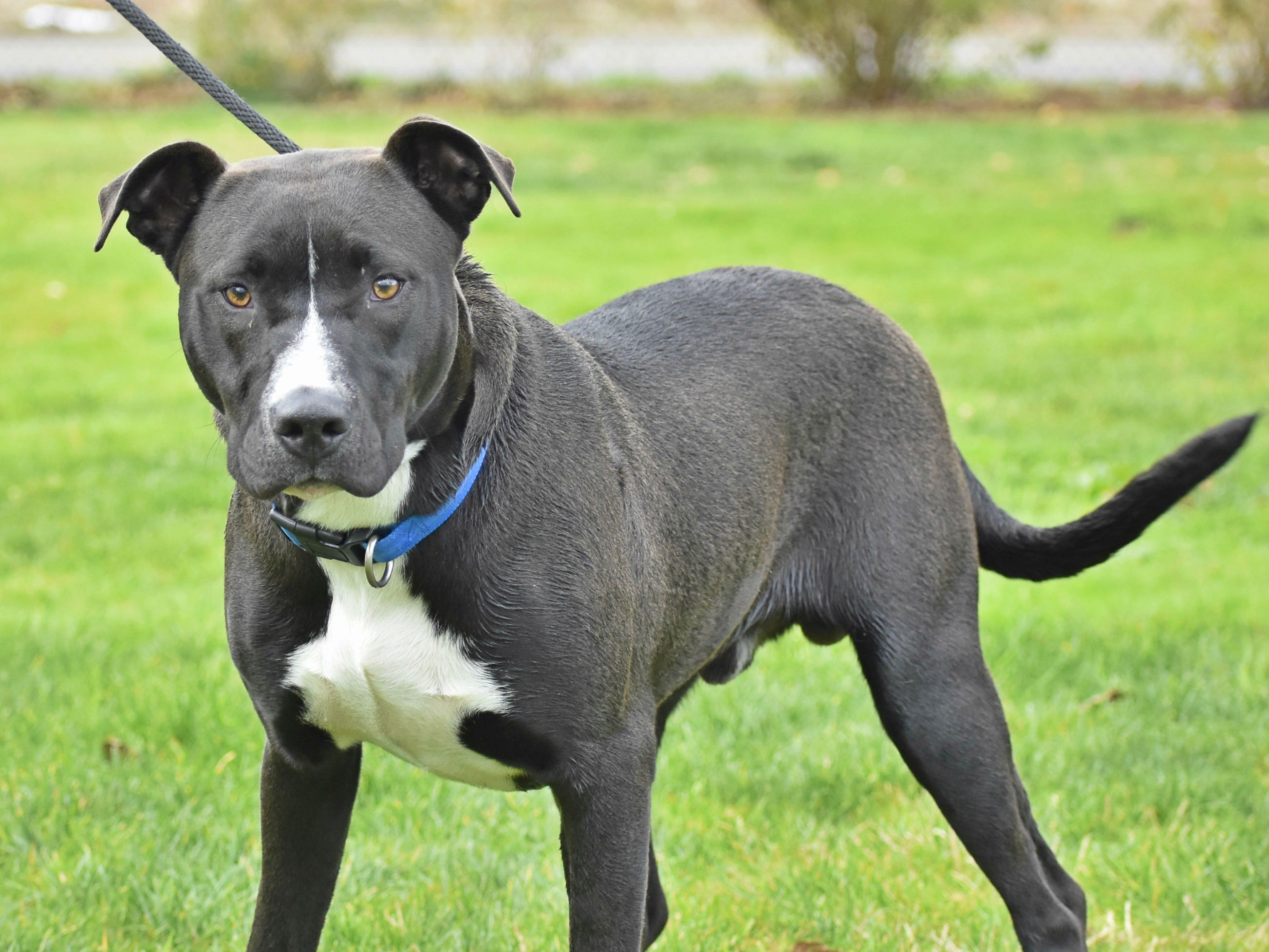 Jackson is a 1-year-old male black and white Labrador Retriever mix. He is a sweet, gentle boy who would love a new family to go on adventures with. Jackson would love to go to the beach, hiking and exploring with his new family. For information, contact Marion County Dog Services at 503-588-5366.