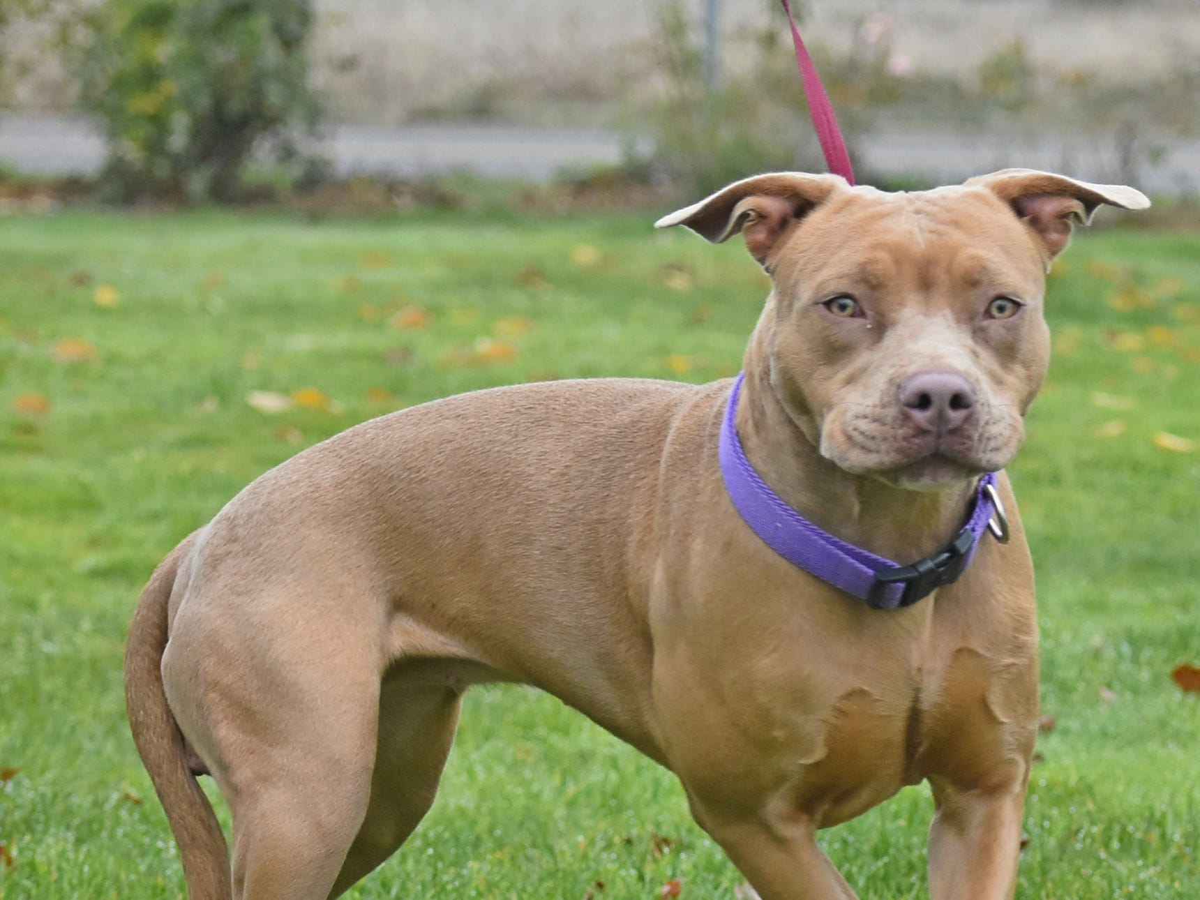 Peaches is a 2-year-old female fawn American pit bull terrier mix. She needs an understanding, loving and patient person who will help her with consistency and positive reinforcement. Peaches is on her way to learning to trust again. For information, contact Marion County Dog Services at 503-588-5366.