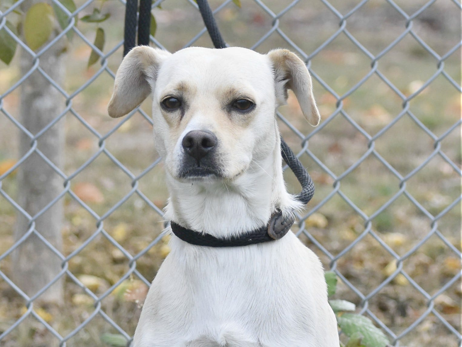 Sammy is a 2-year-old male white and yellow Beagle mix. He is just coming into his own, so he may need his human to provide a confidence boost now and then. A stable environment is what Sammy needs, as it doesn't take much to make him feel uneasy and unsure. For information, contact Marion County Dog Services at 503-588-5366.