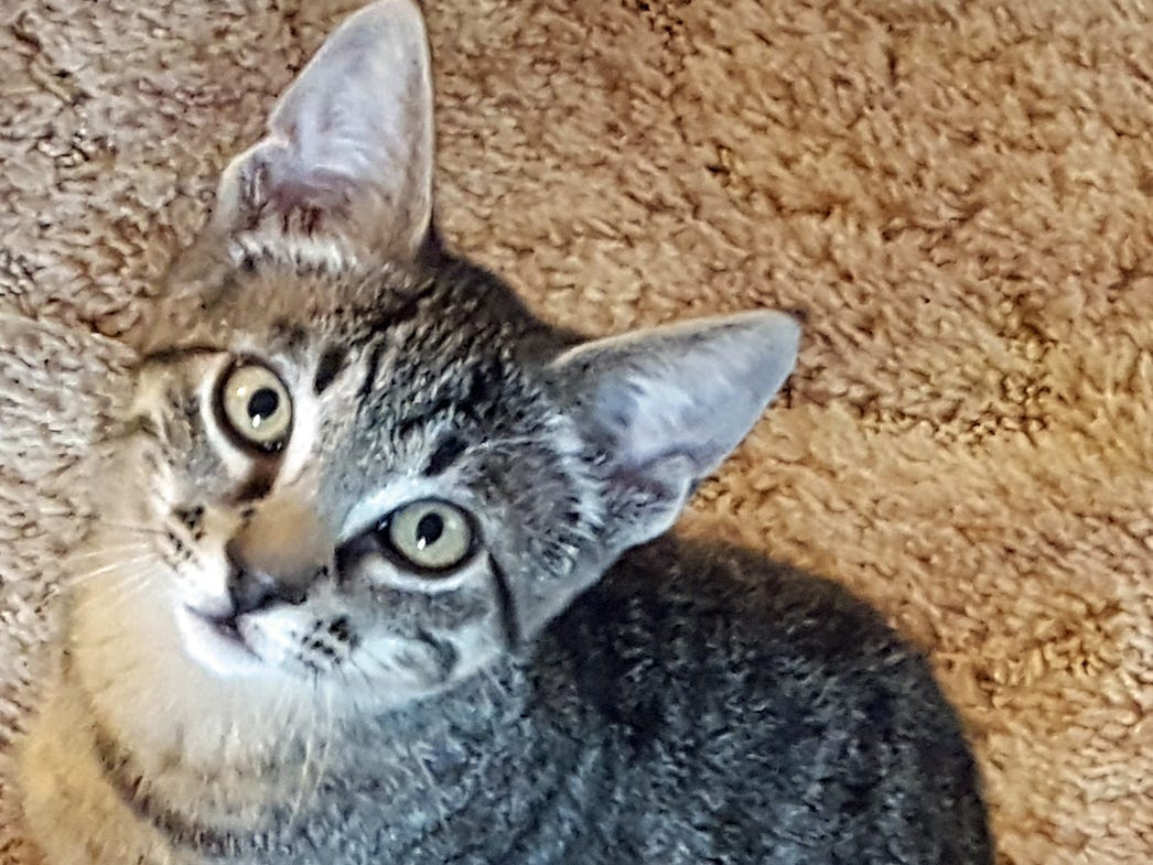Logan is a smart and inquisitive 16-week-old kitten. He is sweet, affectionate and mellow. He likes attention and wants play but isn't overly active. Logan has been vaccinated, dewormed, neutered and micro-chipped. For more information, call or text 503-586-6176.