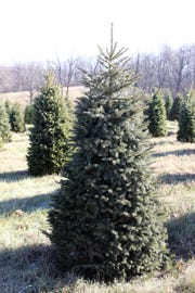 Evergreen trees at Lancaster's Winterberry Tree Farm in Brooklyn can be selected in the fall for the Christmas season.