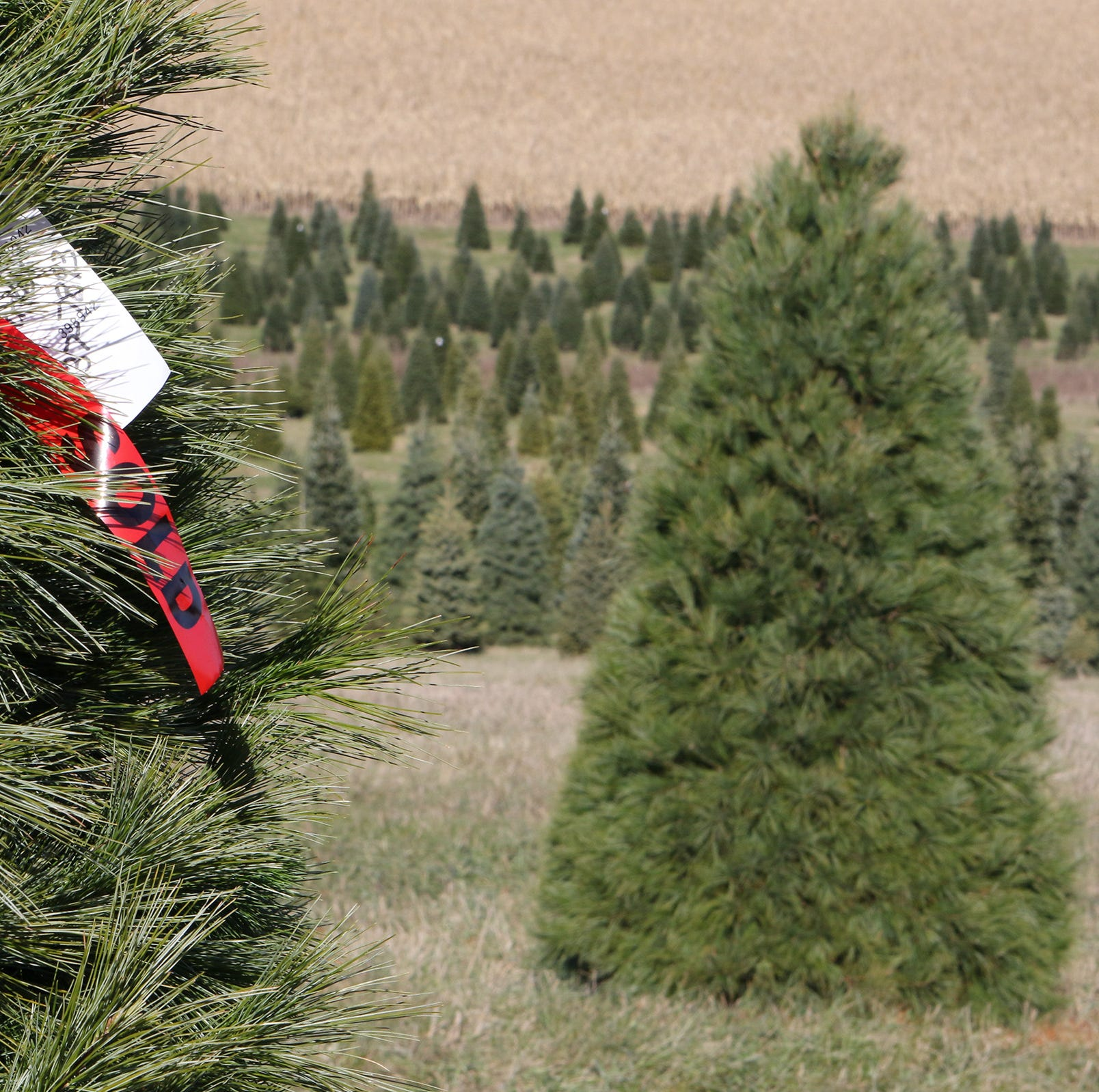 Where to cut your own Christmas tree in the Tristate