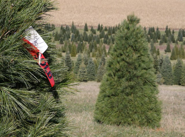 Cut Your Own Christmas Tree Near Me.Here S Where To Cut Your Own Christmas Tree In Wisconsin