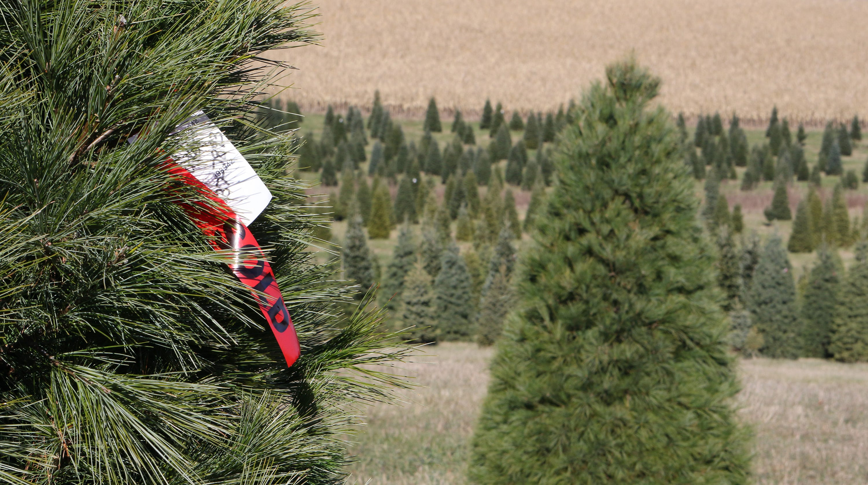 Here's Where To Cut Your Own Christmas Tree In Wisconsin