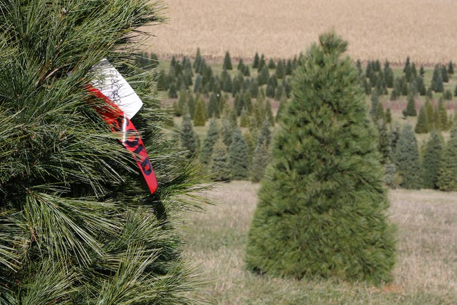 A Christmas tree at Lancaster's Winterberry Tree Farm in Brooklyn is claimed for the 2018 season.