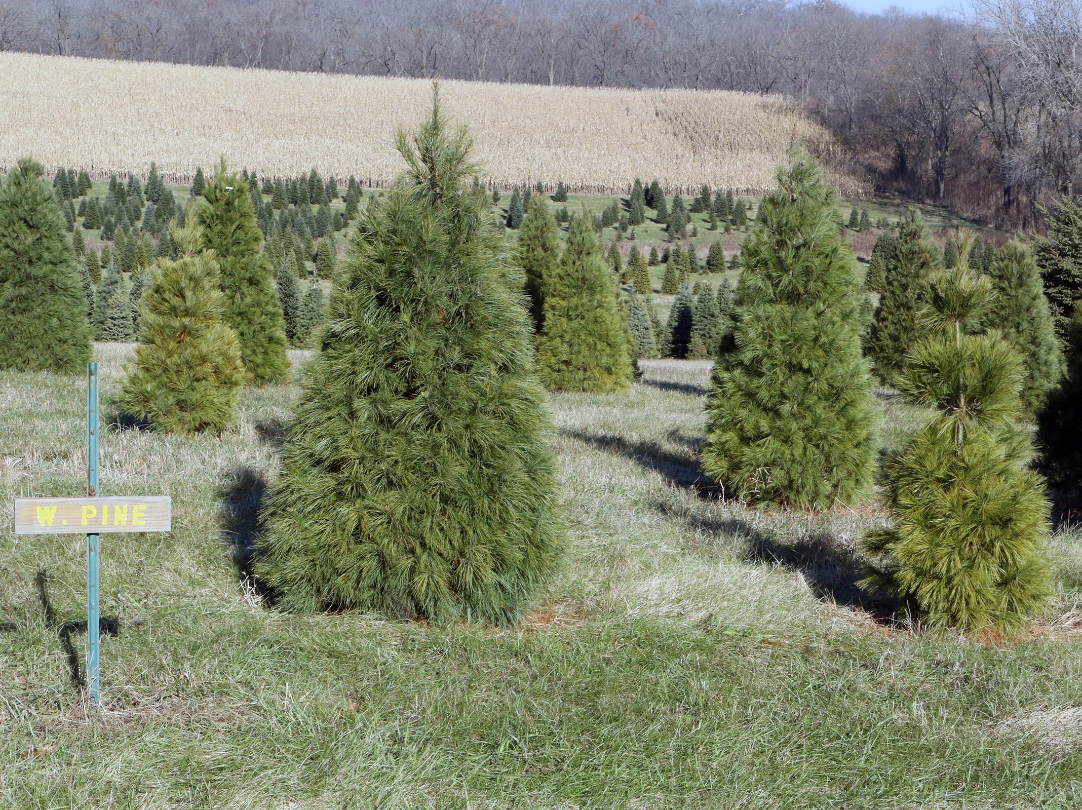 Christmas trees wait for buyers at Lancaster's Winterberry Tree Farm in Brooklyn.