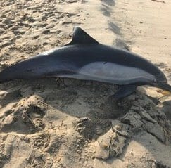 Reward offered after dolphin shot in 'brutal, senseless act of aggression'