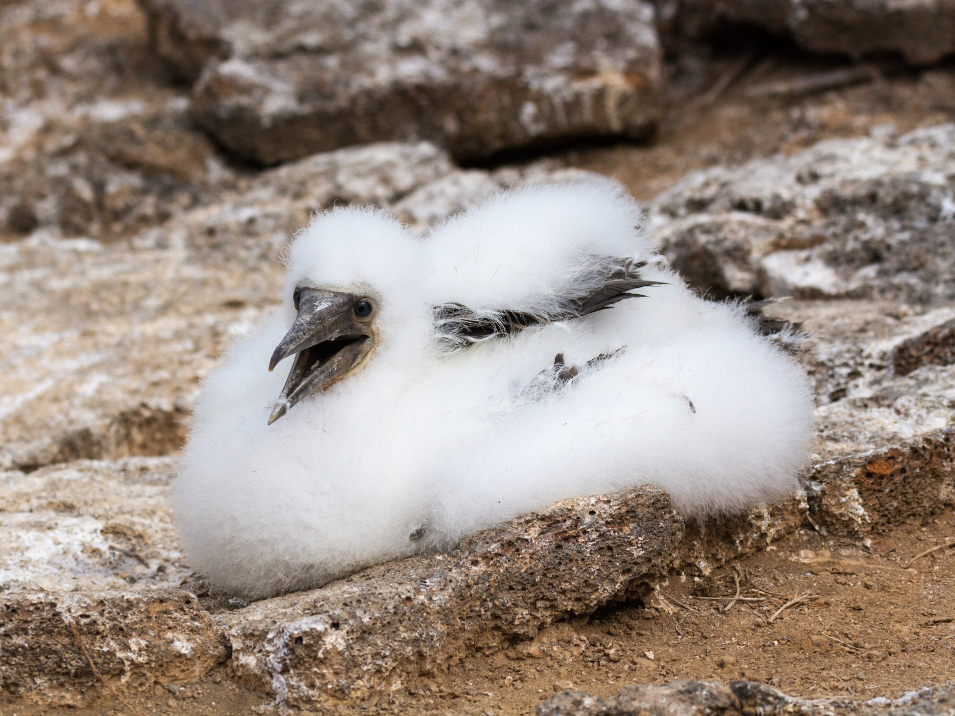 A Nazca booby chick in the Galapagos Islands, Ecuador.