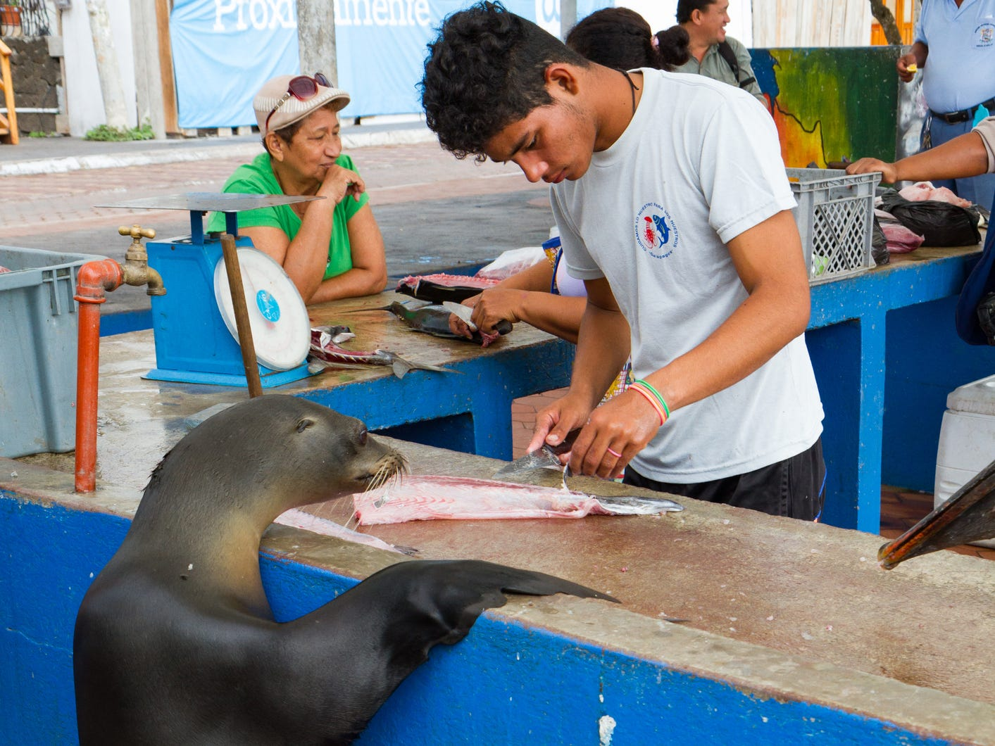 A sea lion begs for scraps at the Puerto Ayora Fish Market in the Galapagos Islands, Ecuador.
