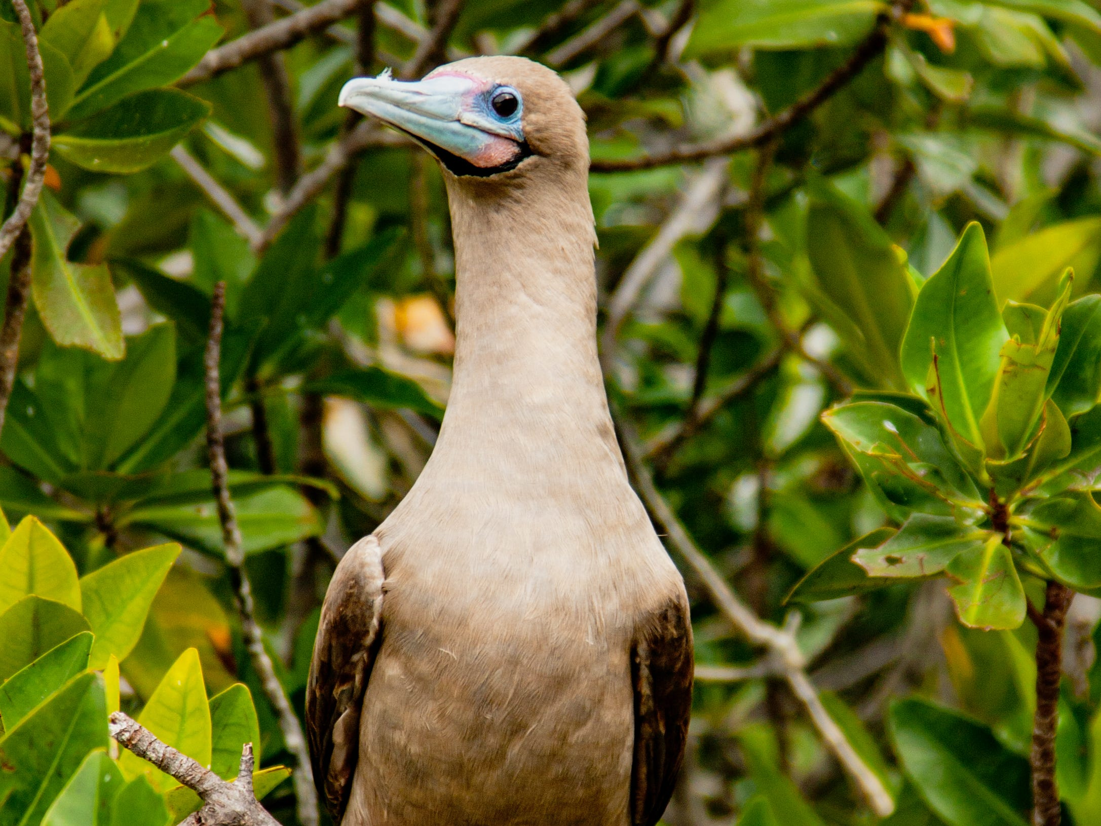 A red-footed booby in the Galapagos Islands, Ecuador.Ecuador