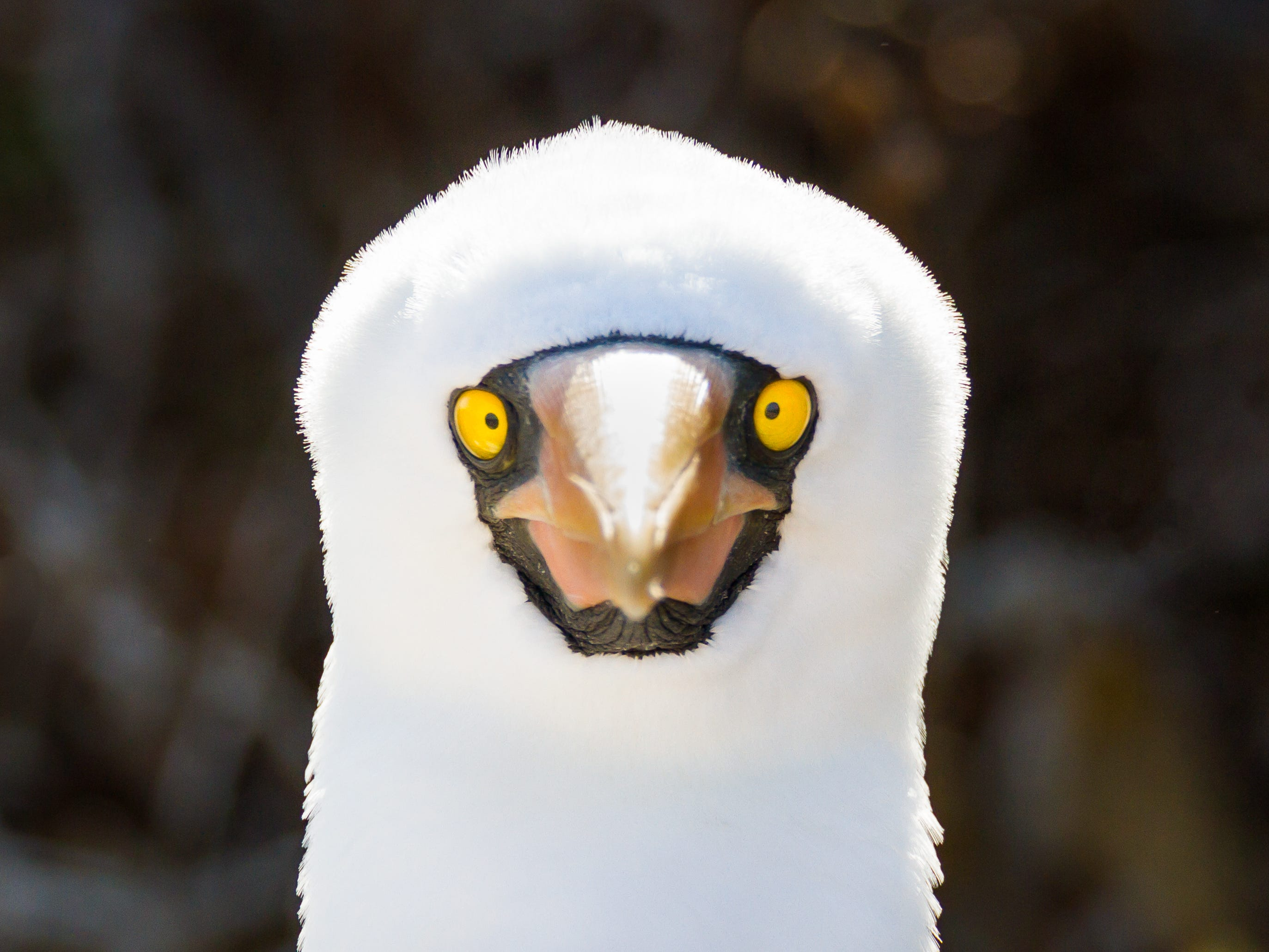 A Nazca booby in the Galapagos Islands, Ecuador.
