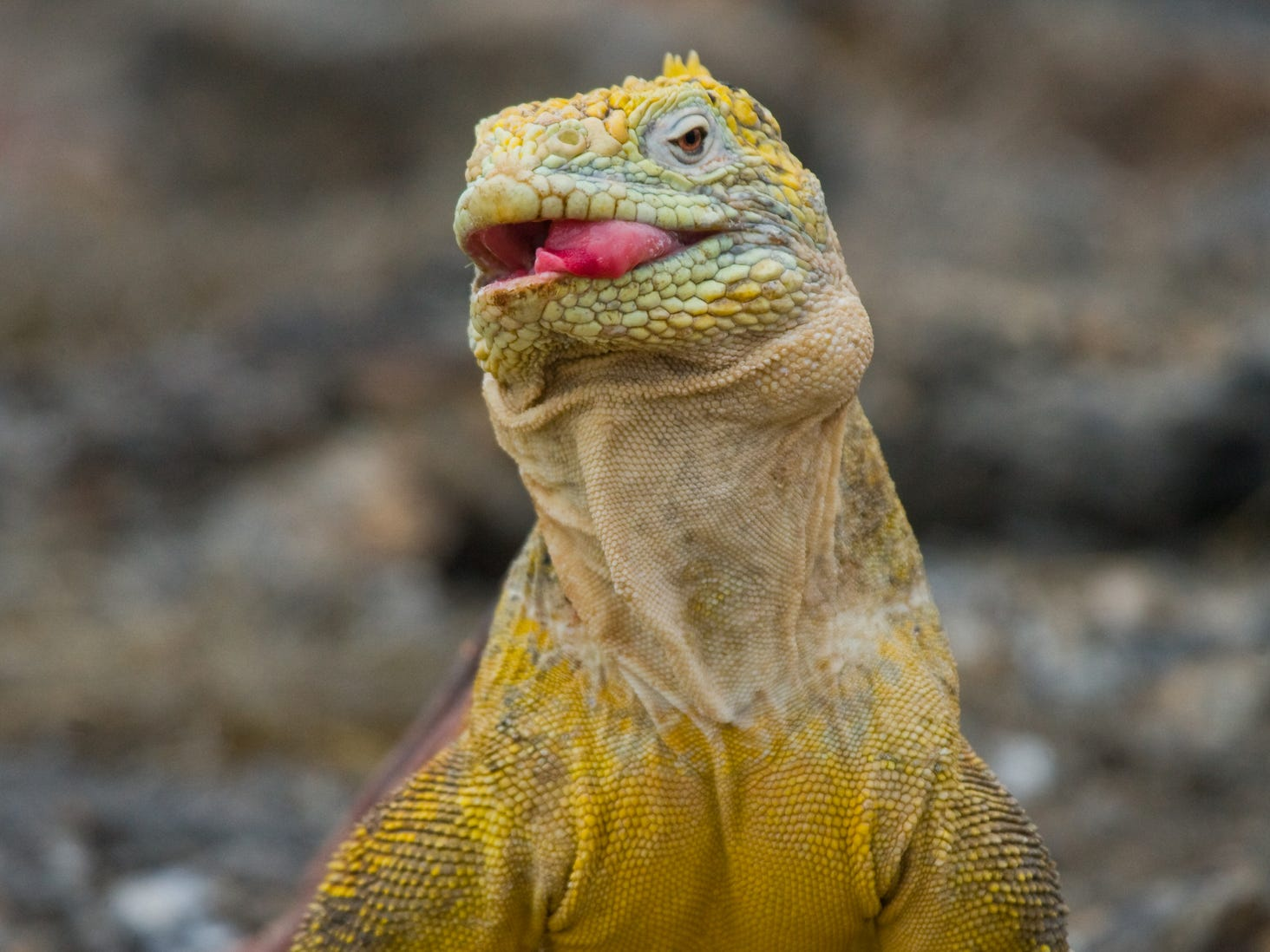A land iguana in the Galapagos Islands, Ecuador.