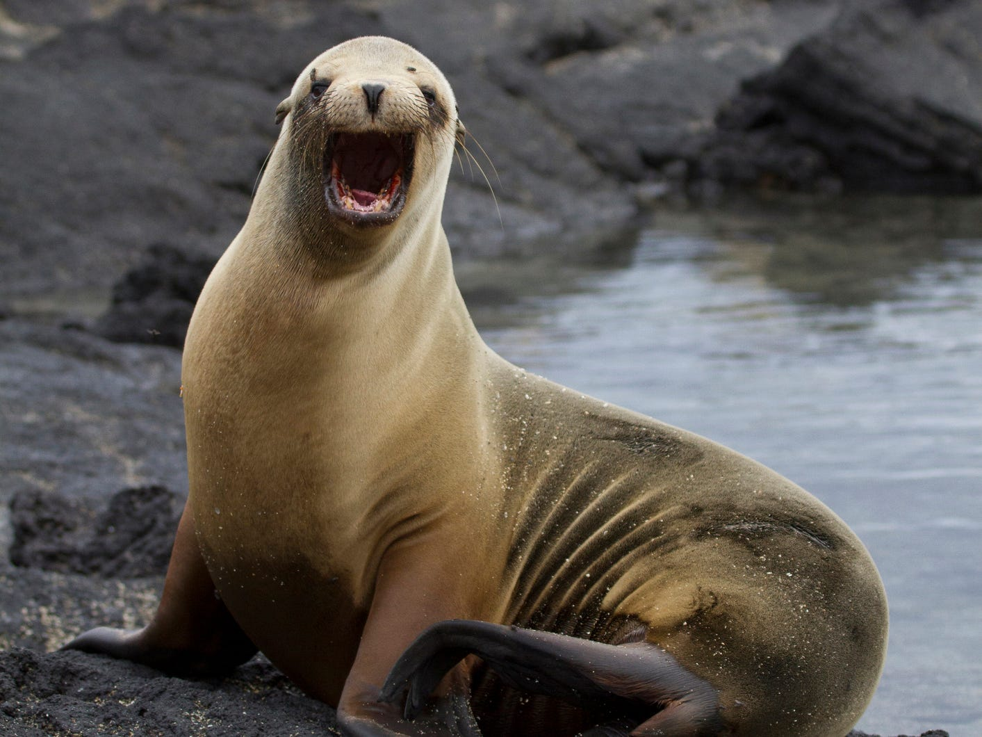 A sea lion in the Galapagos Islands, Ecuador.