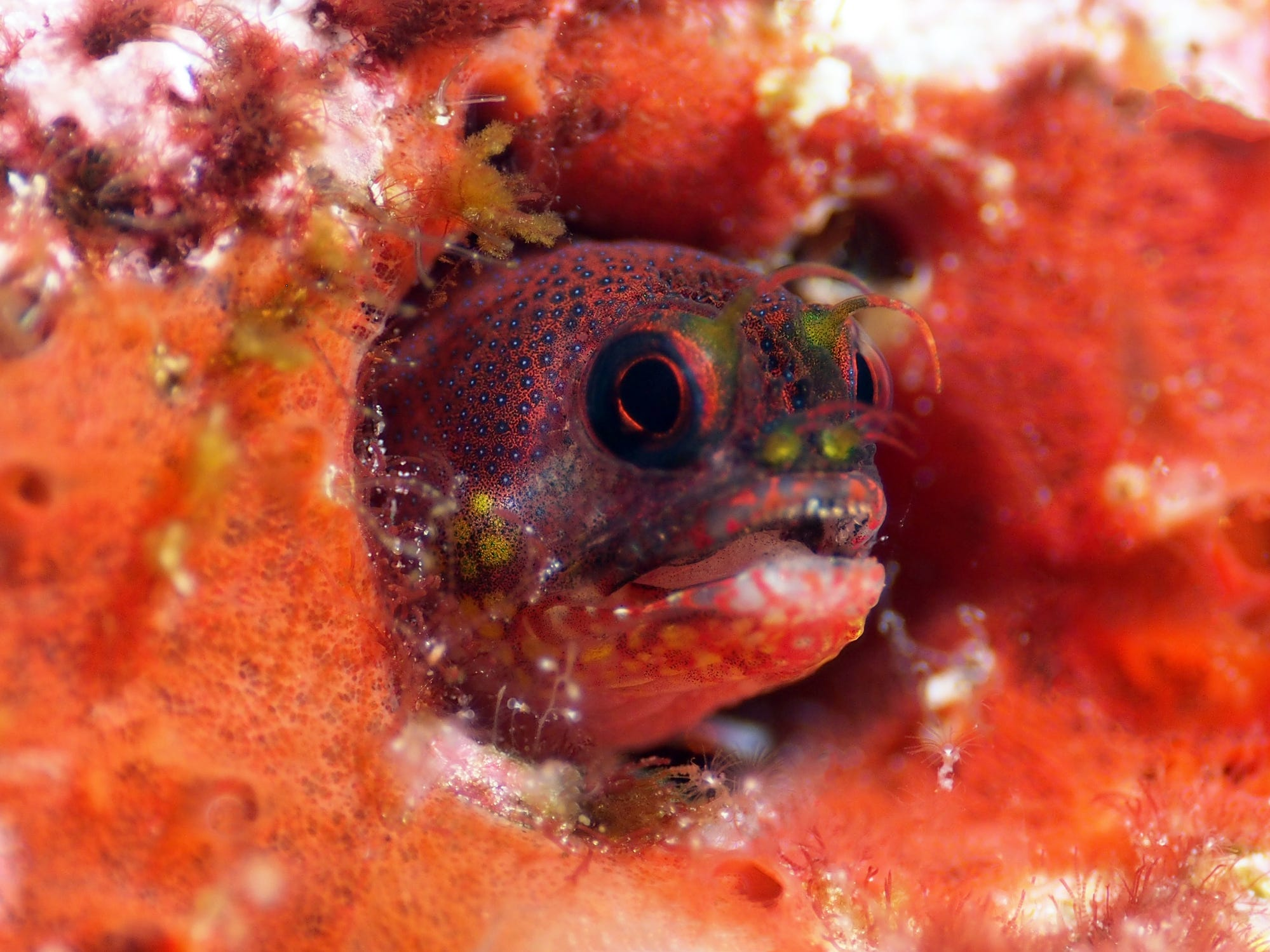 A barnacle blenny in the Galapagos Islands, Ecuador.