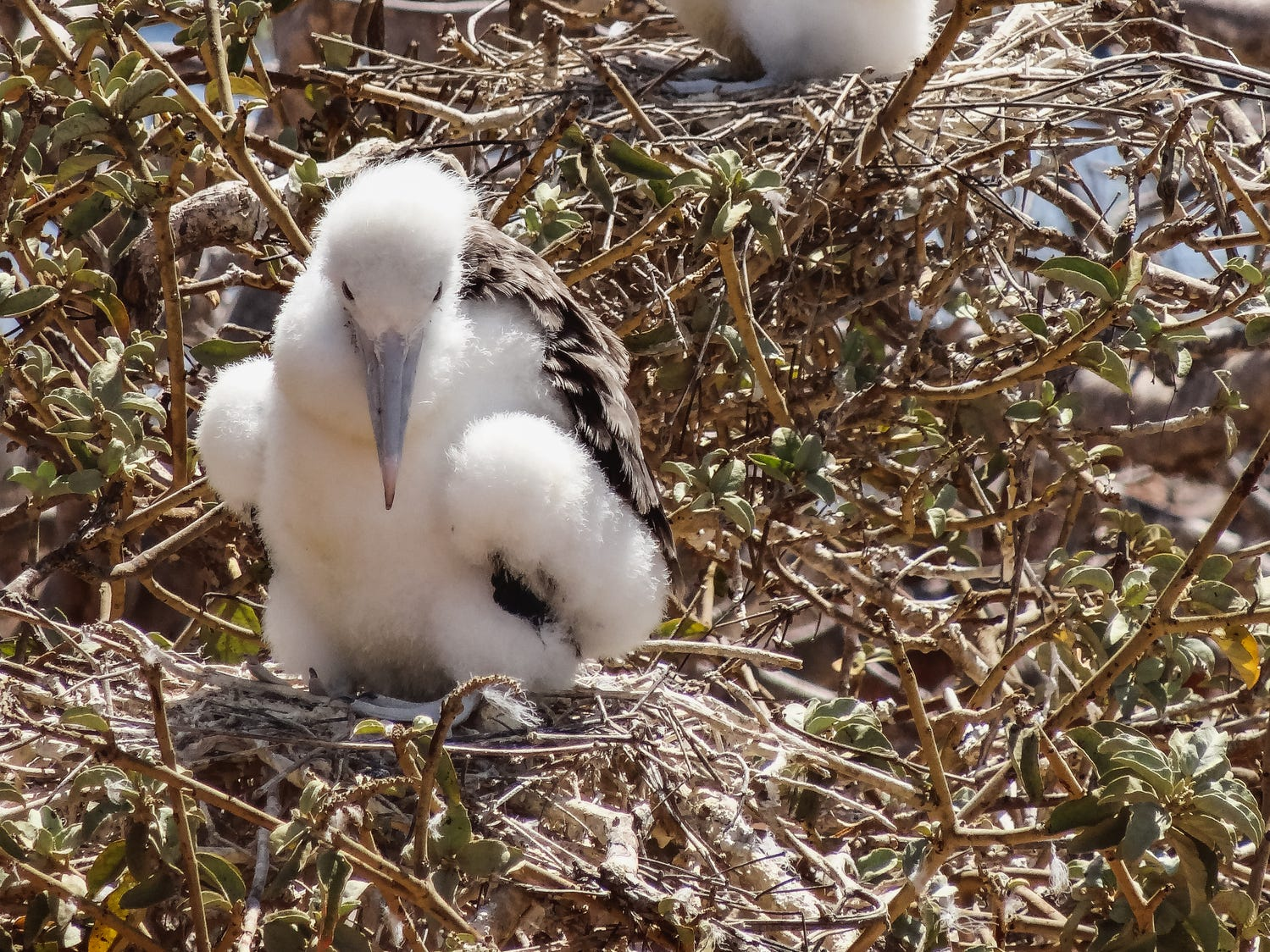 Great frigatebird chicks in the Galapagos Islands, Ecuador.