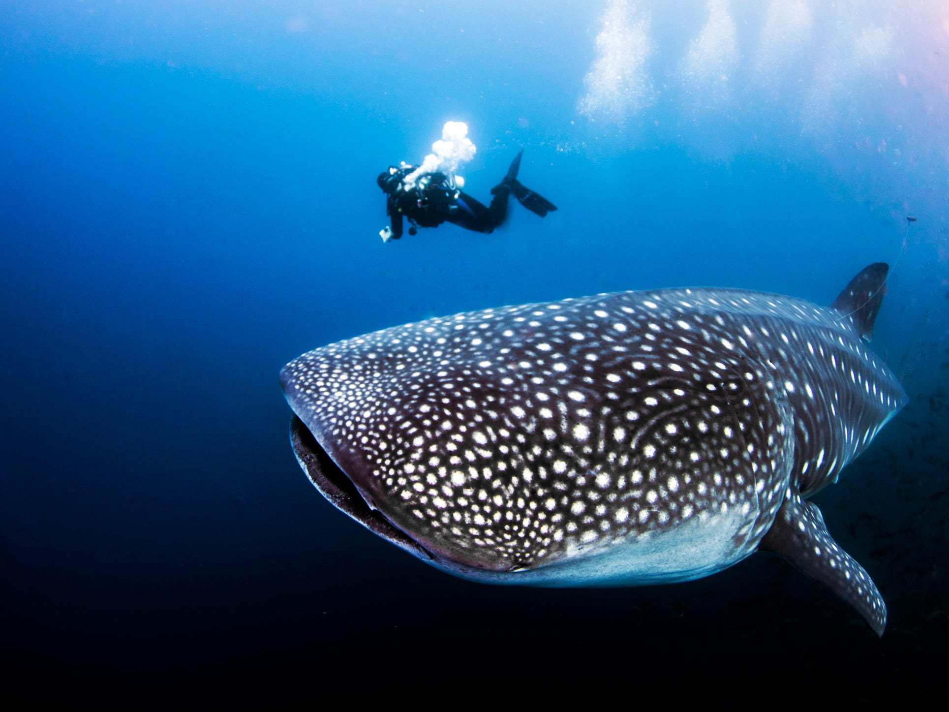 A whale shark in the Galapagos Islands, Ecuador.
