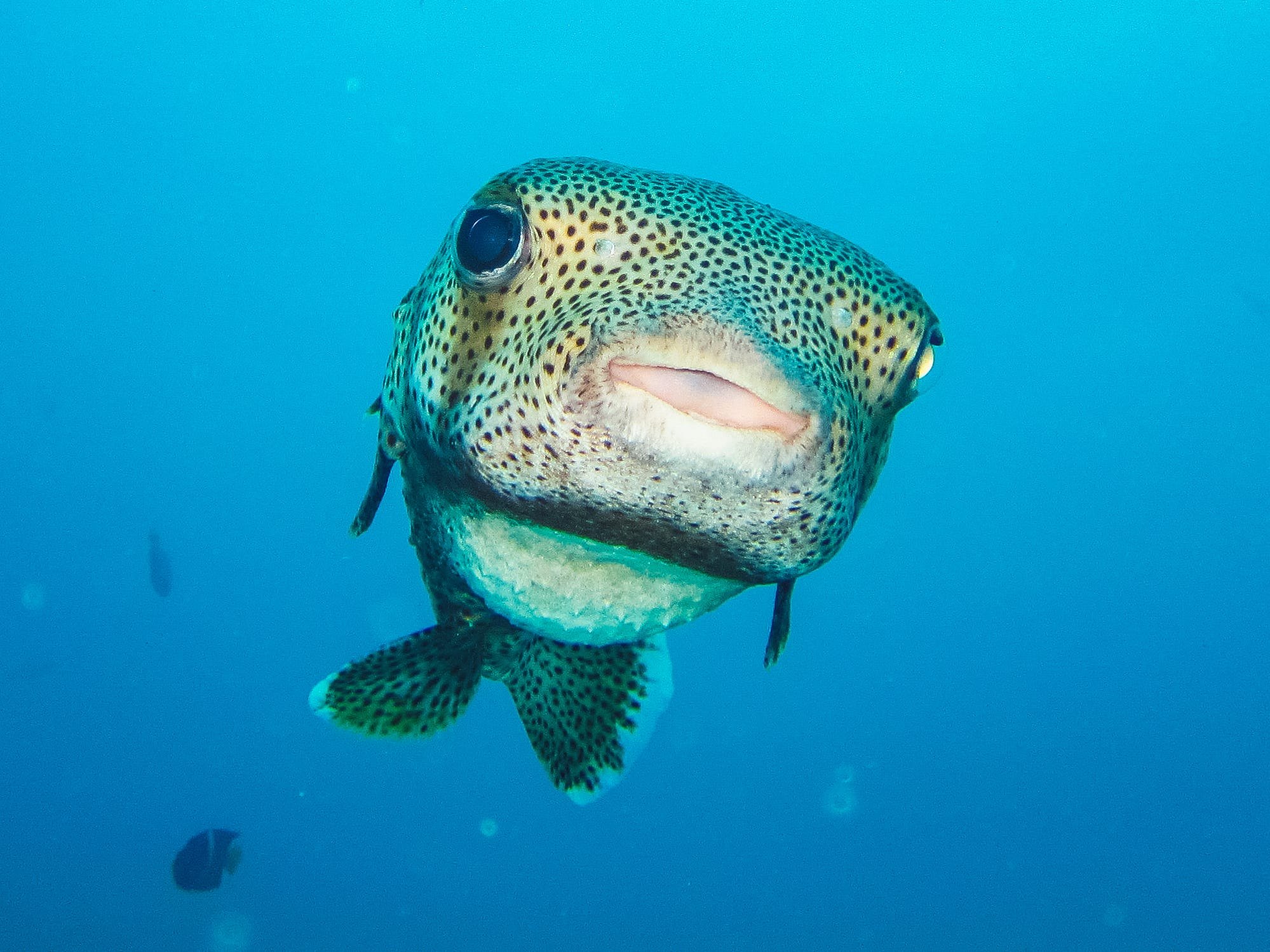 A white-spotted puffer in the Galapagos Islands, Ecuador.
