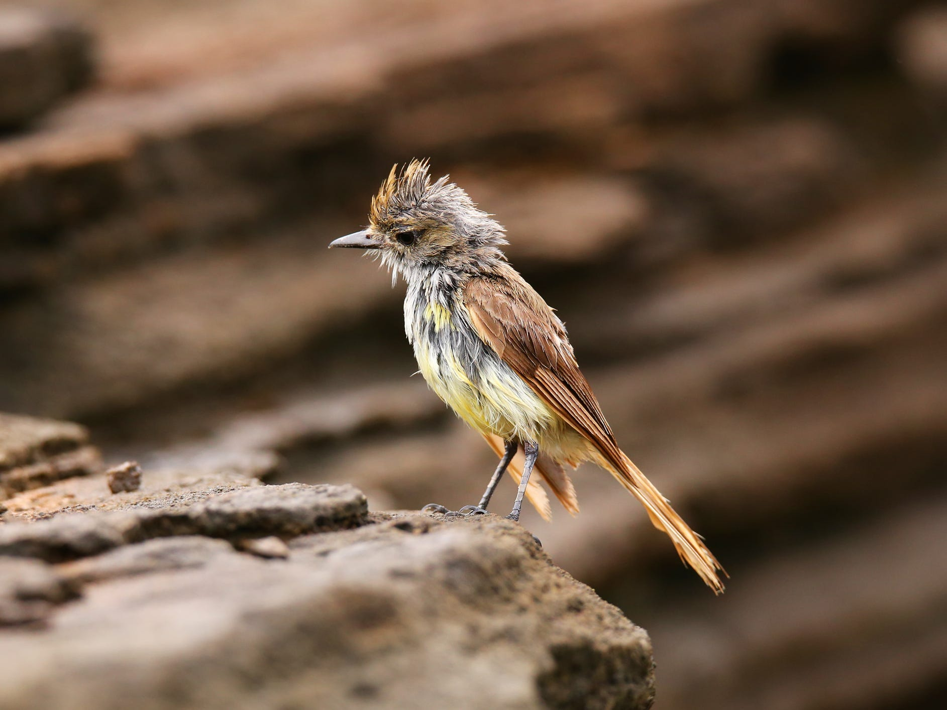 A flycatcher in the Galapagos Islands, Ecuador.
