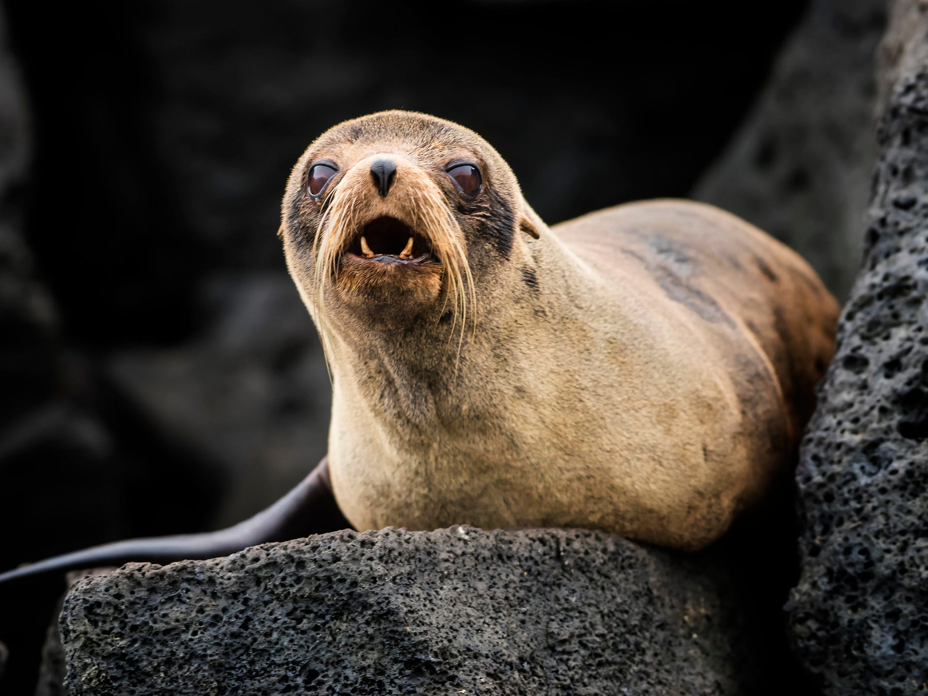 A fur seal in the Galapagos Islands, Ecuador.