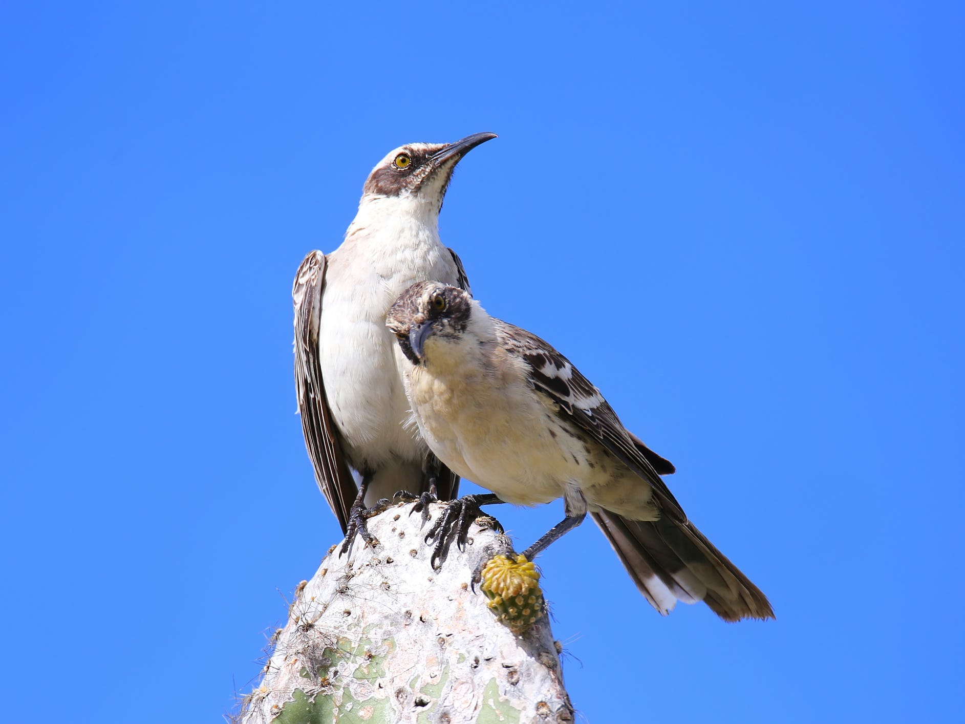 Mockingbirds in the Galapagos Islands, Ecuador.