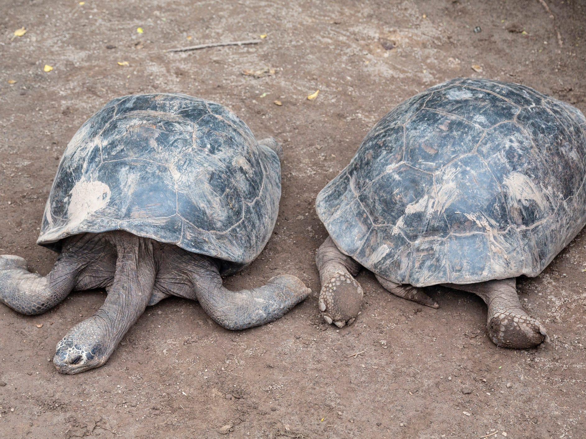 Giant tortoises in the Galapagos Islands, Ecuador.