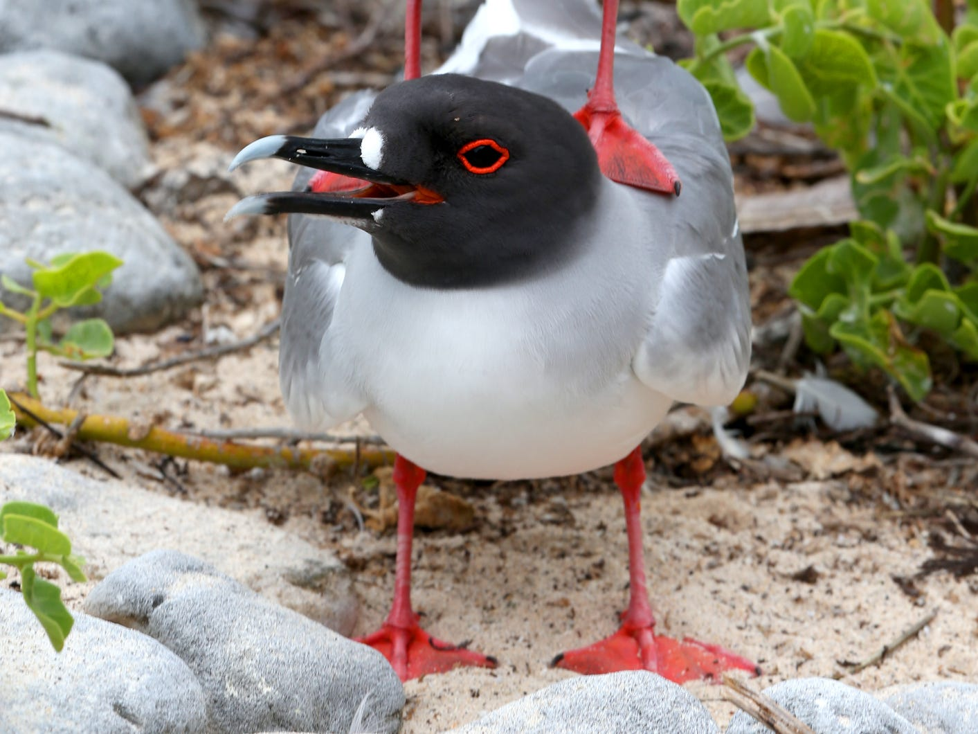 Swallow-tailed gulls in the Galapagos Islands, Ecuador.