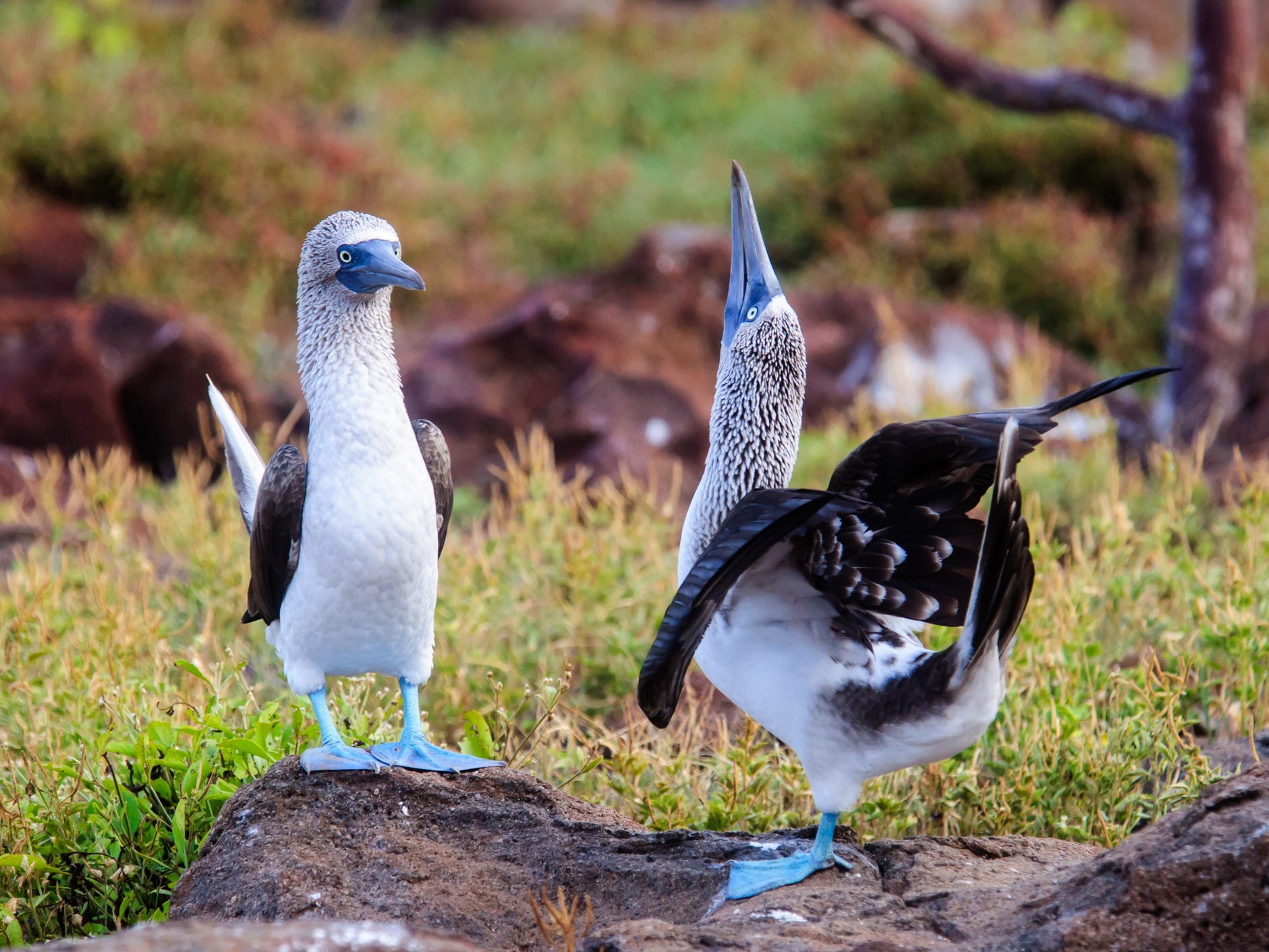 Blue-footed boobies in the Galapagos Islands, Ecuador.