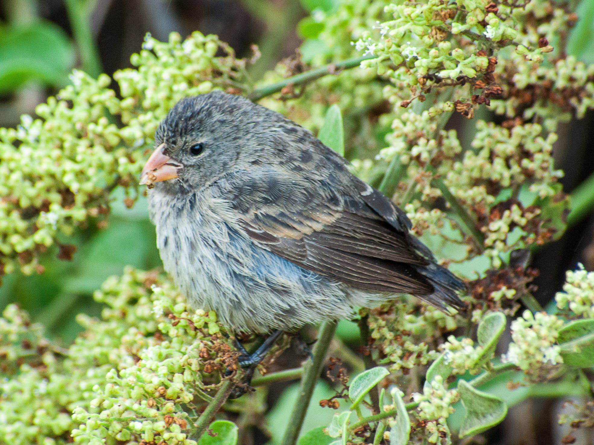 A finch in the Galapagos Islands, Ecuador.