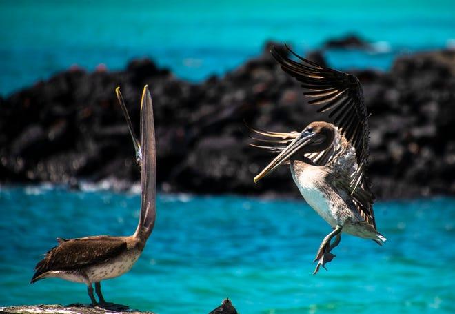 Pelicans in the Galapagos Islands, Ecuador.