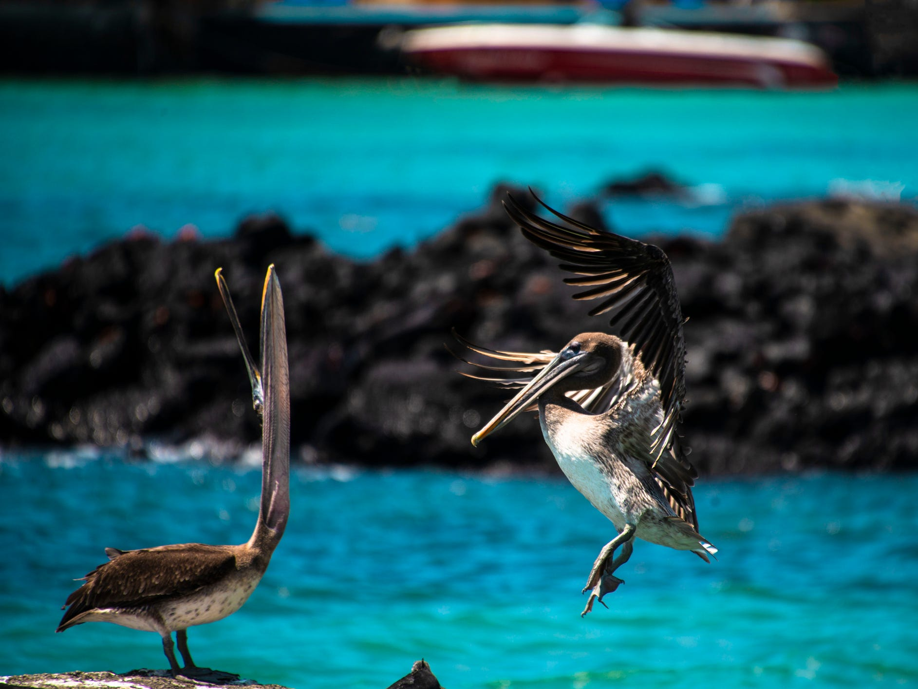 Pelicans in the Galapagos Islands, Ecuador.