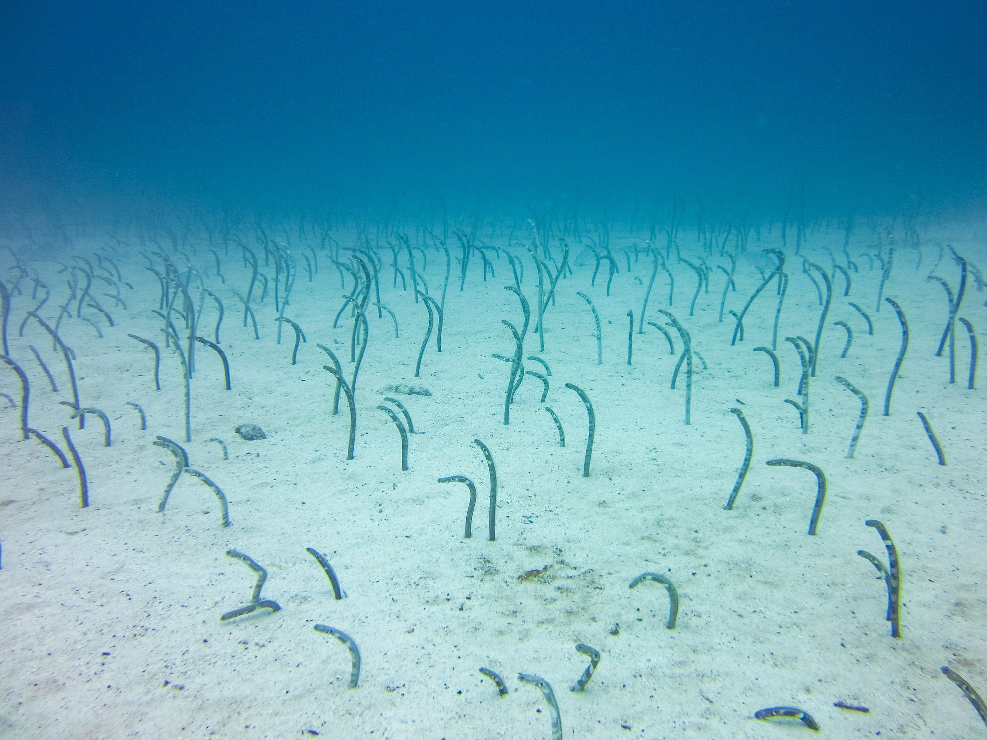 Garden eels in the Galapagos Islands, Ecuador.