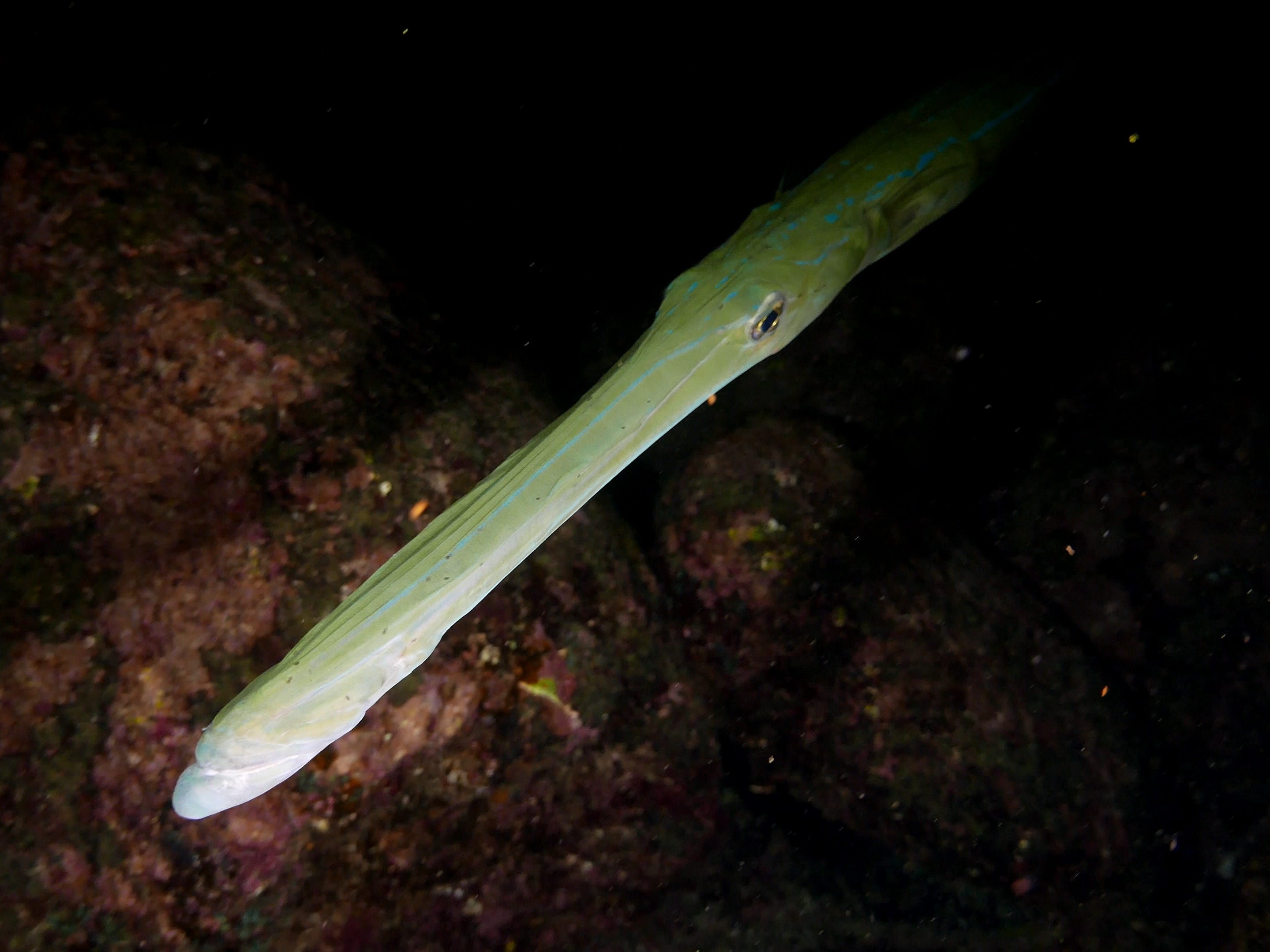 A trumpetfish in the Galapagos Islands, Ecuador.