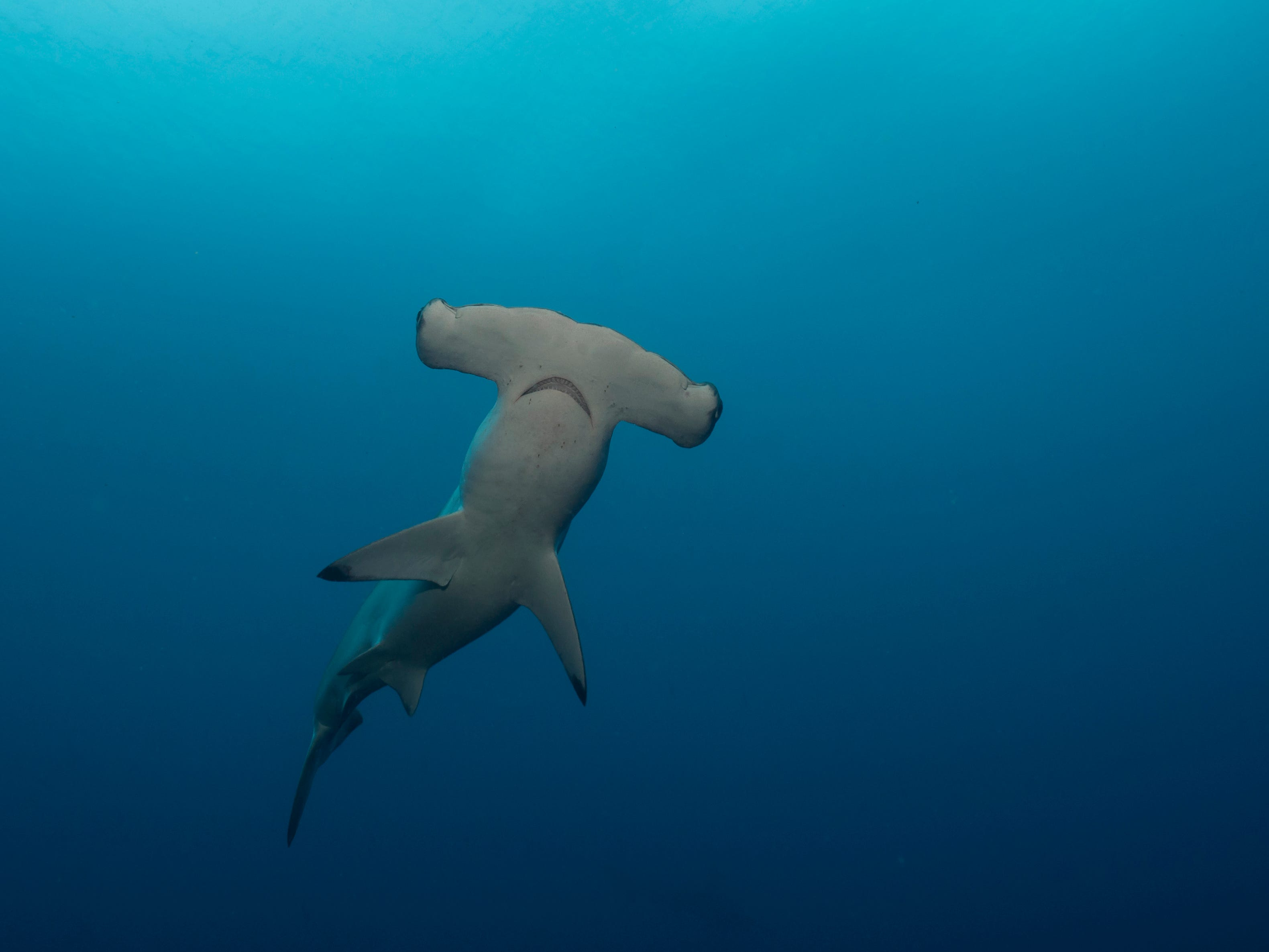 A scalloped hammerhead shark in the Galapagos Islands, Ecuador.