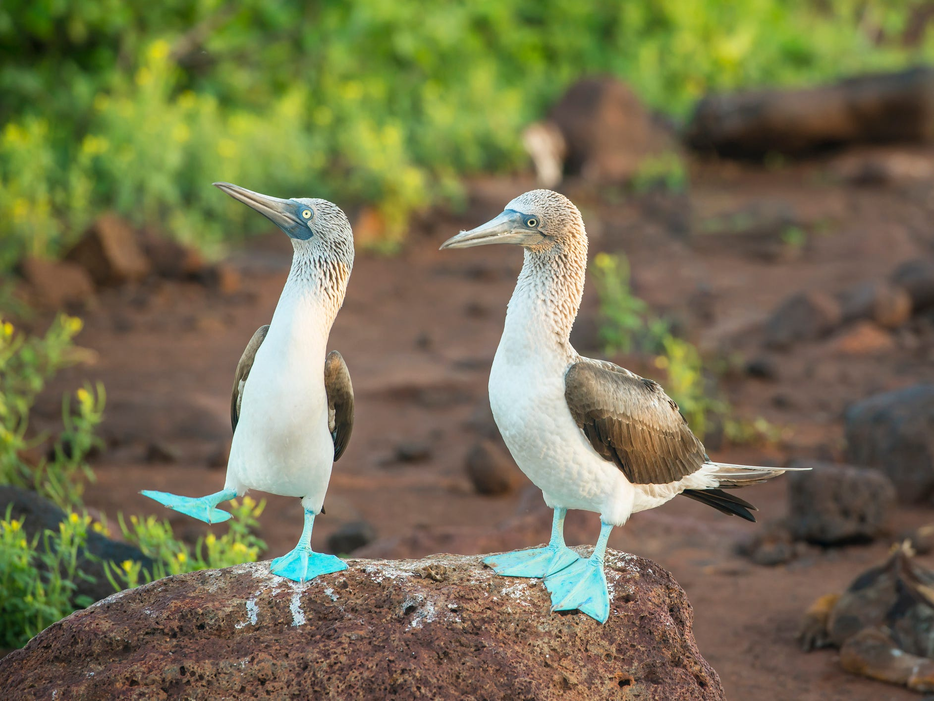Blue-footed boobies in the Galapagos Islands, Ecuador.